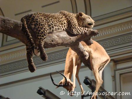 cheeta-museu-nacional-de-historia-natural-de-washington