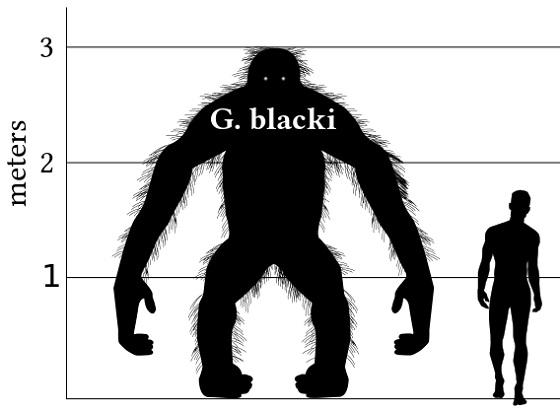 775px-Gigantopithecus_v_human_v1